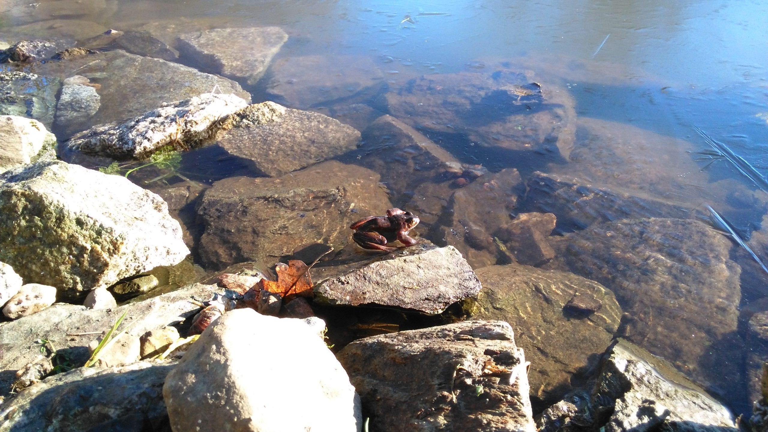 kikker amfibieënpoel Ierland